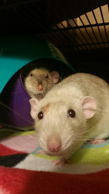 Jasper and Oliver the rats