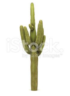 kaktus raksasa bernama latin Saguaro