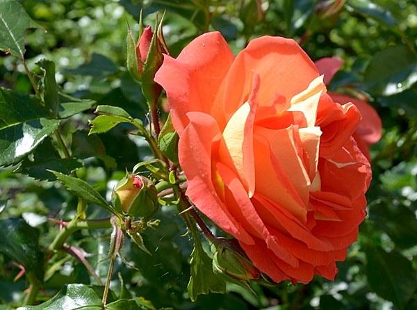 Gebruder Grimm роза сорт фото