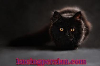 Berapa Lama Kucing Hamil ? Kucing Hamil Berapa Bulan ?