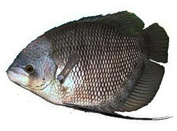 Distributor Peternakan Ikan Gurame Distributor Jual Ikan Air Tawar