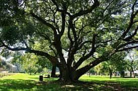 Manfaat, Fungsi, dan Khasiat Pohon Beringin [Lengkap]