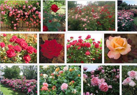 Grow Beautiful Roses