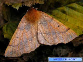 Colotois pennaria - Himère-plume - Phalène emplumée