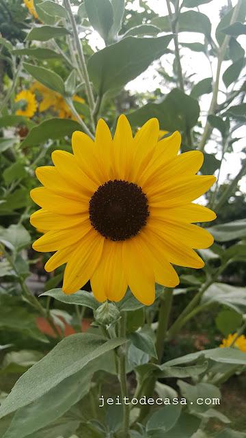 jardim-quintal-girassol