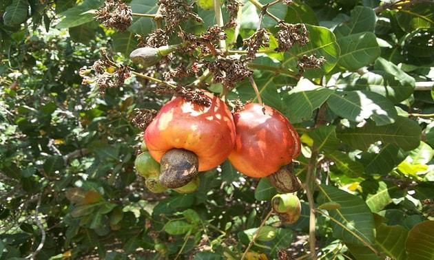 Caju (Anacardium occidentale L. )