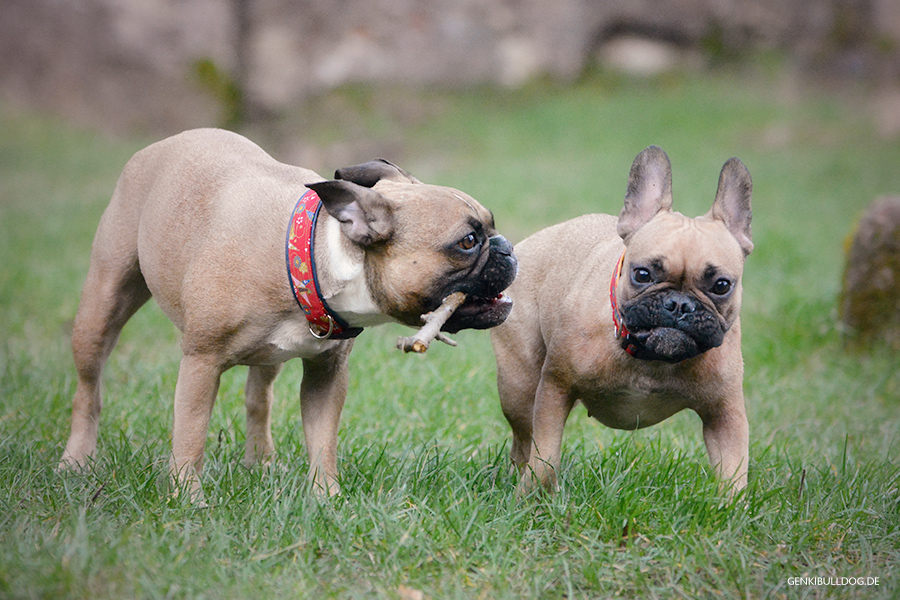 Französische Bulldogge Hundeblog - Die große Burgeroberungstour