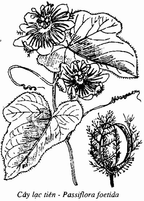 Hình vẽ LẠC TIÊN - Passiflora foetida - Nguyên liệu làm Thuốc Ngủ, An Thần, Trấn Kinh