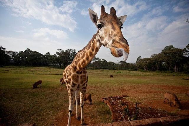 Desayunando con jirafas en Kenia