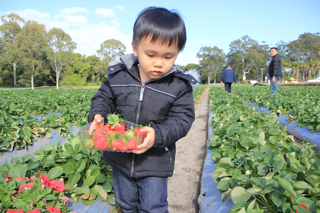 strawberry fields queensland