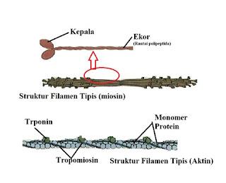 Struktur aktin dan Miosin