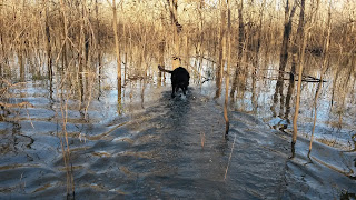 Pup will soon be a North Texas Duck Hunting pup