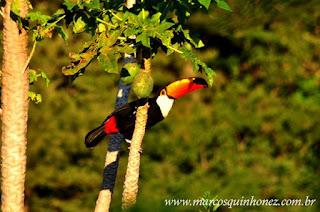 Tucano no Pantanal