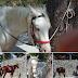 ΟΧΙ ΜΟΝΟ ΣΤΗΝ ΣΑΝΤΟΡΙΝΗ! Πού αλλού βασανίζουν άλογα...
