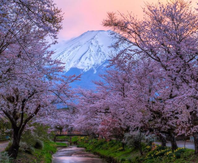 Festival Cherry Blossom, Jepang