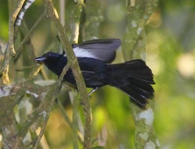 Frutero coronado Tachyphonus coronatus