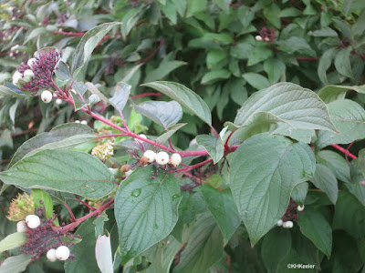 red osier dogwood fruits