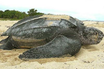 Son tortugas marina, propias de latitudes tropicales