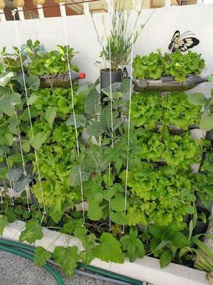 bertani sayur-mayur memanfaatkan pralon bekas
