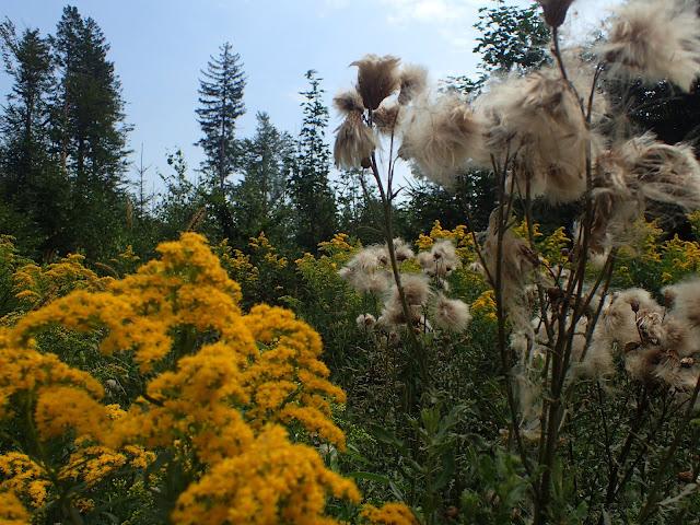 Kwiatki w masywie Ślęży