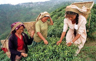 Tea plucking in Darjeeling Garden