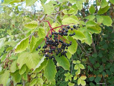 Σαμπούκος-Το βότανο για κρυολογήματα