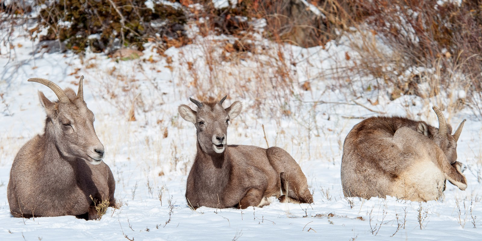 Bighorn Sheep, Waterton Canyon