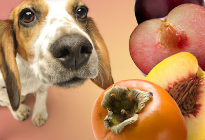 Dog sniffing persimmons and peaches