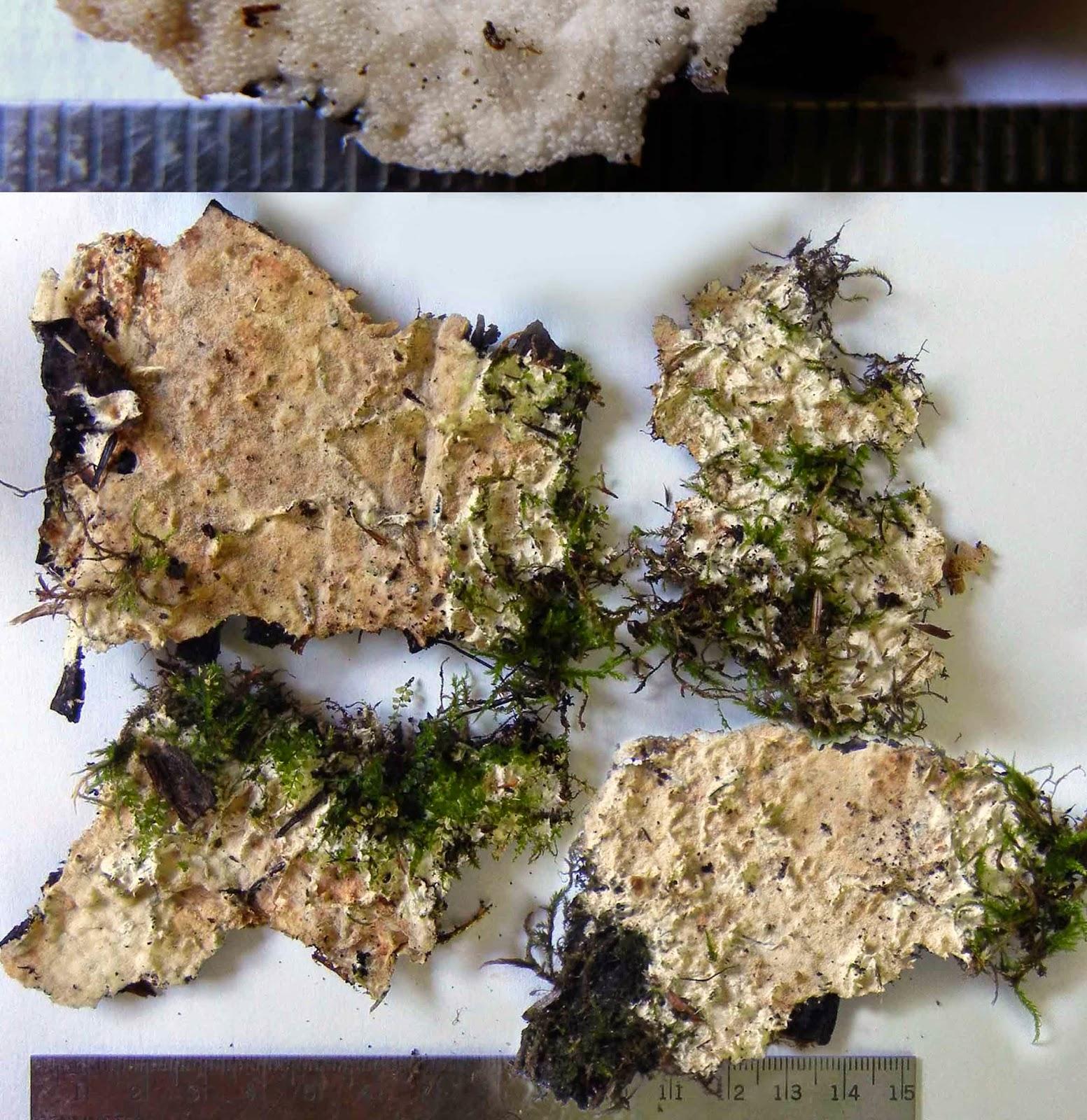 Tiny cups of Porotheleum fimbriatum can resemble pores
