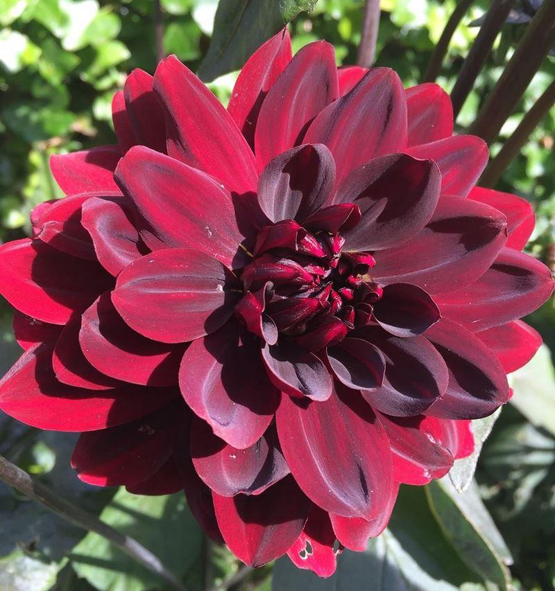flor de dalia petalos satinados color rojo