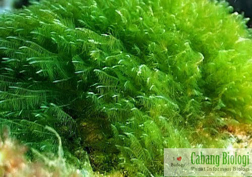 Mengenal Chlorophyta (Ganggang Hijau)