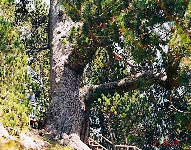 pino de Baikushev Bulgaria