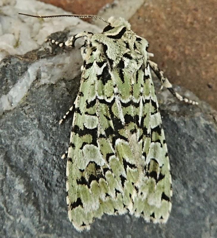 ceredigion moths some autumn moths. Black Bedroom Furniture Sets. Home Design Ideas