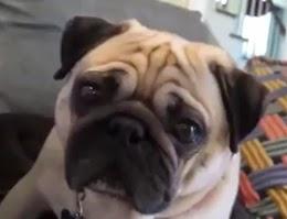 indra penciuman anjing