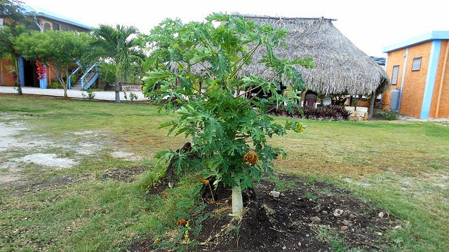 Our New Papaya Trees