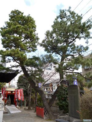 塚本神社松之木