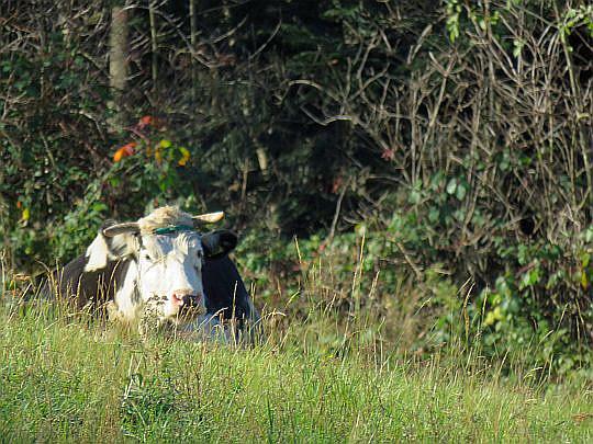 Wypoczywająca krowa.