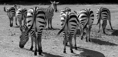 zebras-1081445_960_720.jpg