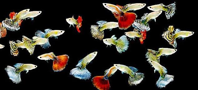 Jenis-Jenis Ikan Guppy Dan Harga Ikan Guppy