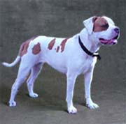 American Bulldog Animals
