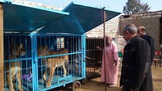 اسود بركة السبع,Birket El Sab Lions,Birket El Sab ,Lions, اخبار بركة السبع,  ادارة بركة السبع , الخوجة