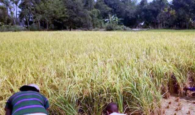 জামালপুরের সরিষাবাড়ীতে চুরি করে ধান কাটার অভিযোগ