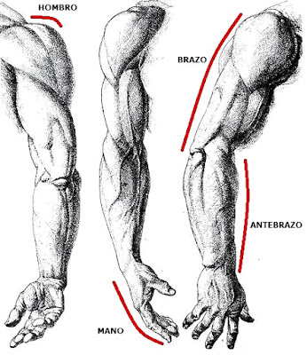 Imagen de brazos del hombre indicando partes