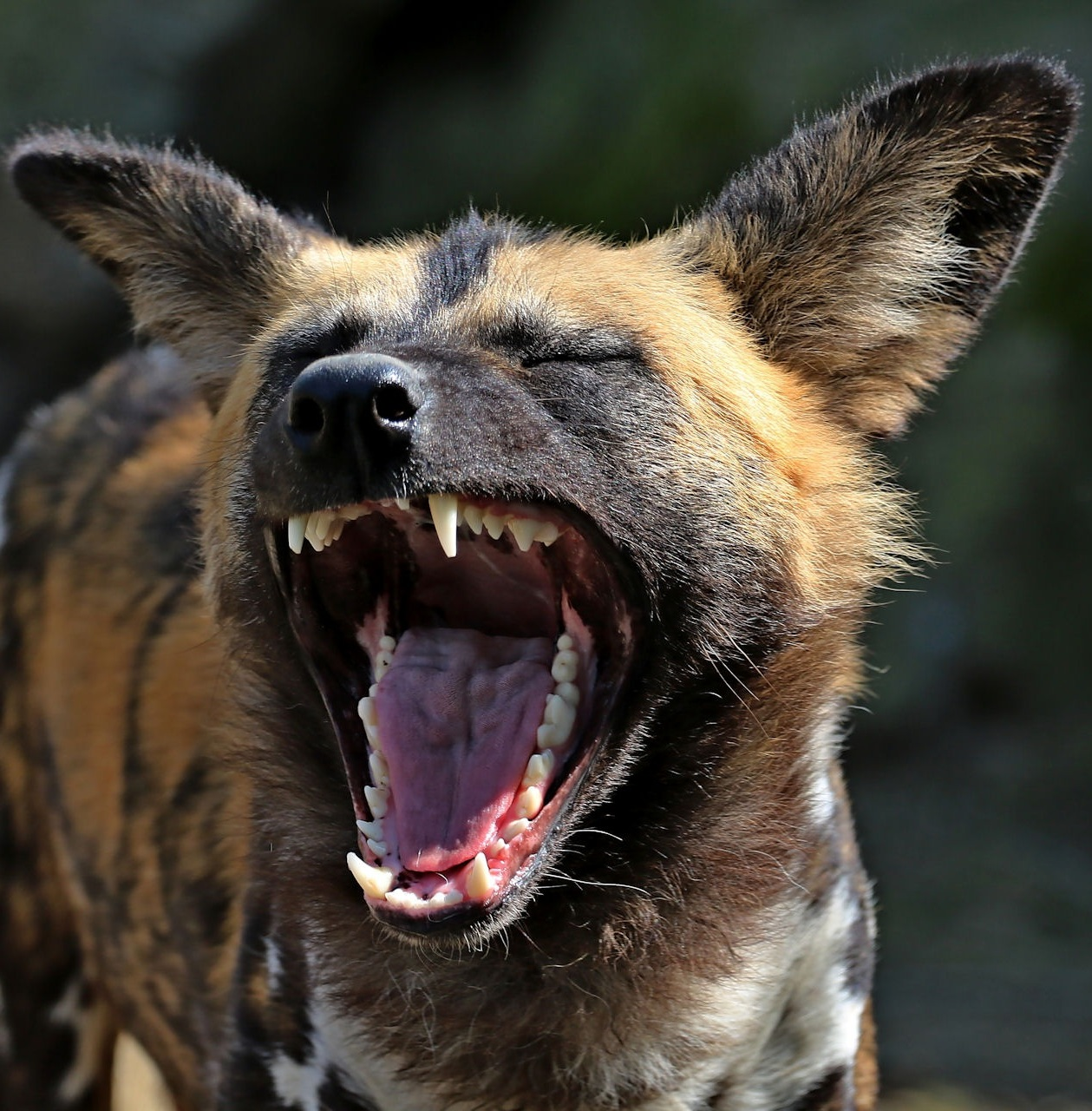 Picture of a laughing hyena.