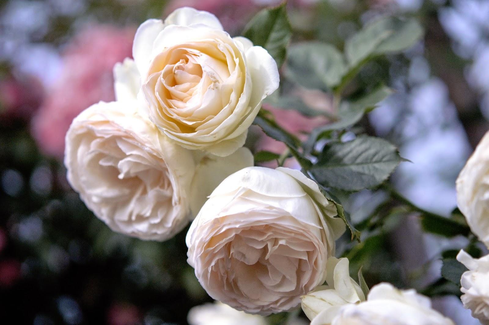 Quand Et Comment Tailler Un Rosier la passion des rosiers à la pépinière fil roses: la taille