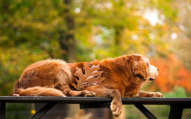 Golden retriever op een bankje tijdens de herfst