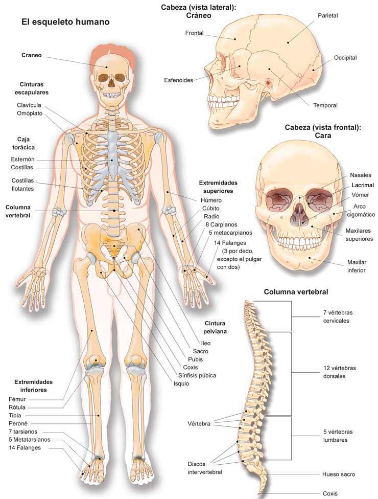 Ilustración del Esqueleto Humano indicando sus partes