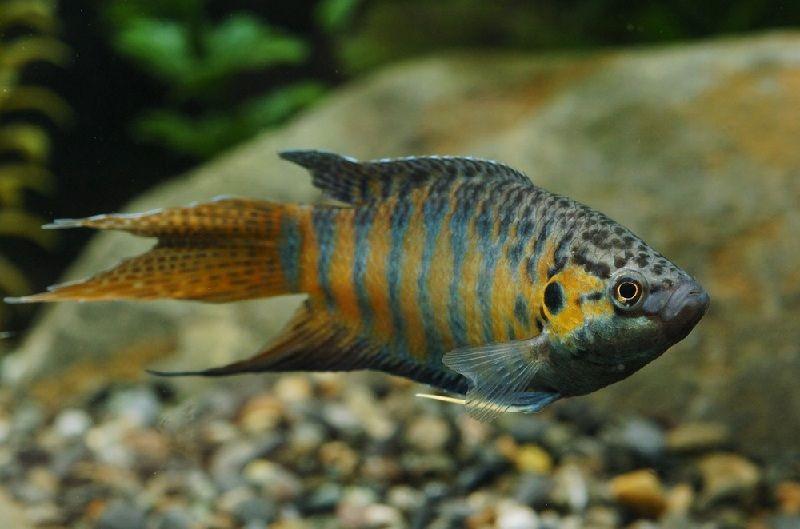Gambar Ikan Paradise