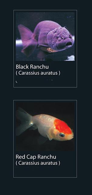 45. Black Ranchu Nama Latin Carassius Auratus   46. Red Cap Ranchu  Nama Latin Carassius Auratus