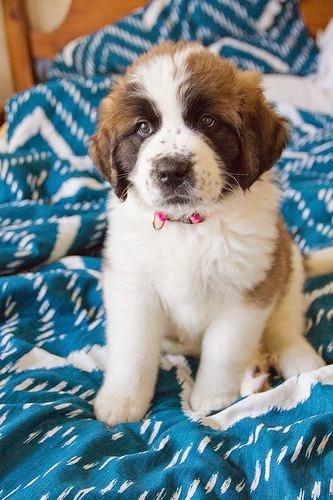 Saint Bernard puppy love
